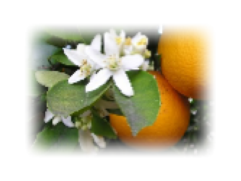 Orange Flower Absolute