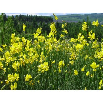 Broom (Genista) Absolute