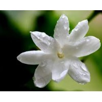 Jasmine, India Absolute