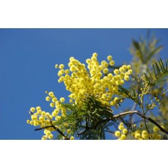 Mimosa, Maroc Absolute