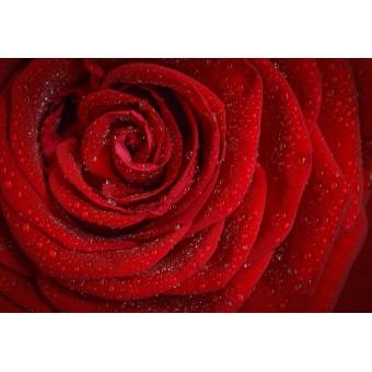 Rose Maroc Absolute