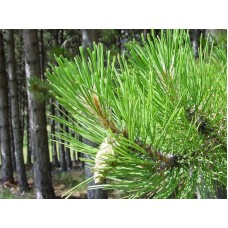 Pine Needles Absolute