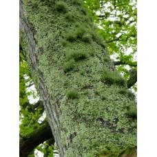 Tree Moss Absolute