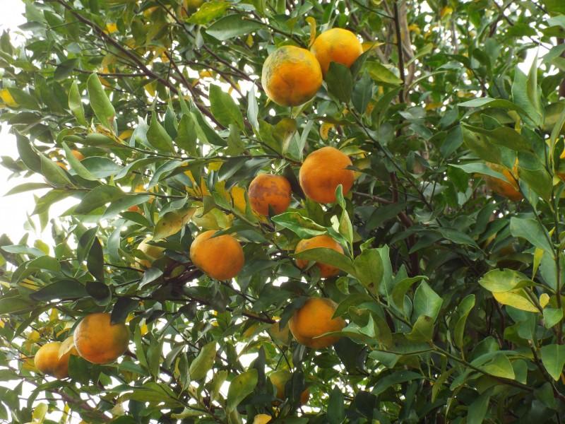 Bergamot Petitgrain Essential Oil (Citrus aurantium ssp bergamia)