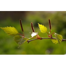 Birch, Sweet Essential Oil (Betula lenta)
