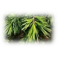 Cedar Essential Oil (Juniperus virginiana)