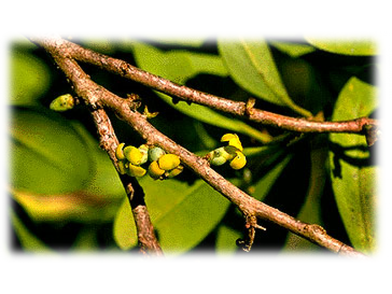 Cinnamosma Essential Oil (Cinnamosma fragans baillon)