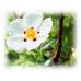 Cistus (Labdanum) Essential Oil (Cistus ladaniferus)