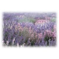 Clary Sage Essential Oil (Salvia sclarea)