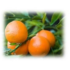 Clementine Petitgrain Essential Oil (Citrus clementina Hort.)