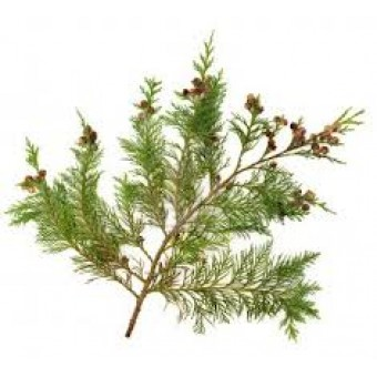Cypress Essential Oil (Cupressus sempervirens)