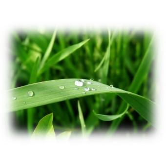 Davana Essential Oil (Artemisia pallens)
