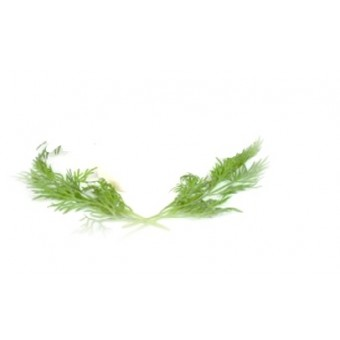 Dill Essential Oil (Anethum graveolens)