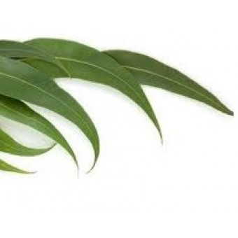 Eucalyptus Dives Essential Oil (Eucalyptus dives)