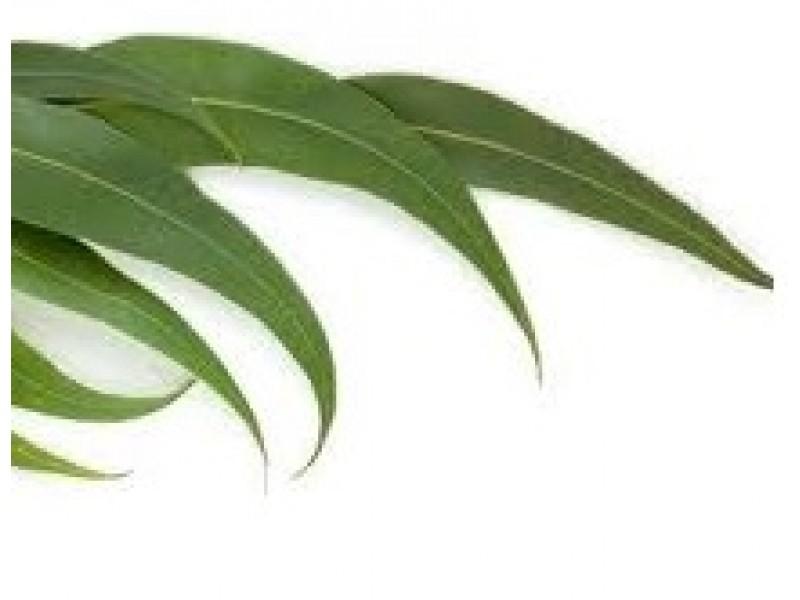 Eucalyptus Dives Essential Oil (Eucalyptus dives)