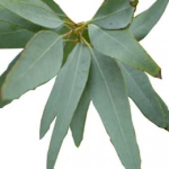 Eucalyptus Staigeriana Essential Oil (Eucalyptus staigeriana)