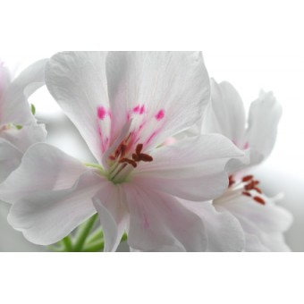 Geranium, Rose Essential Oil (Pelargonium x asperum Ehr)