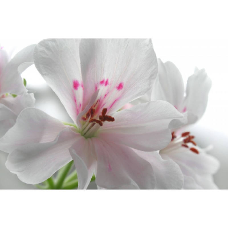 Geranium Rose Essential Oil (Pelargonium x asperum Ehr)