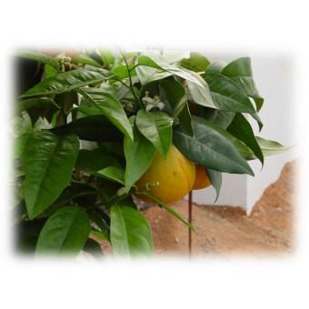 Grapefruit, White Essential Oil (Citrus x paradisi)
