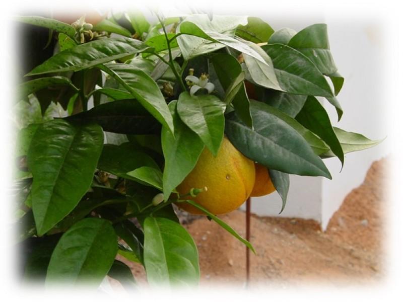 Grapefruit White Essential Oil (Citrus x paradisi)