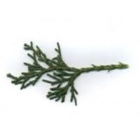 Juniper Essential Oil (Juniperus communis)