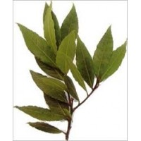 Laurel Essential Oil (Laurus nobilis)