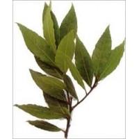Laurel Essential Oil (Laurus nobilis)