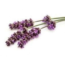 Lavender Maillette Essential Oil (Lavandula officinalis)