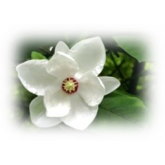 Magnolia Essential Oil (Michelia x alba)