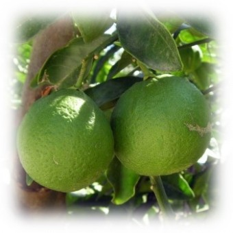Mandarin, Green Essential Oil (Citrus reticulata)
