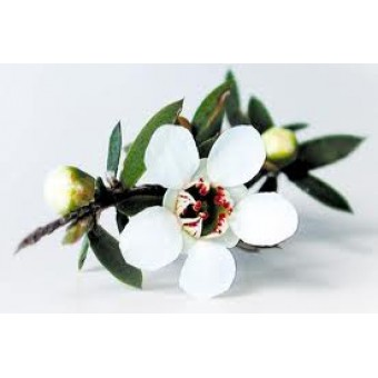Manuka Essential Oil (Leptospermum scoparium)