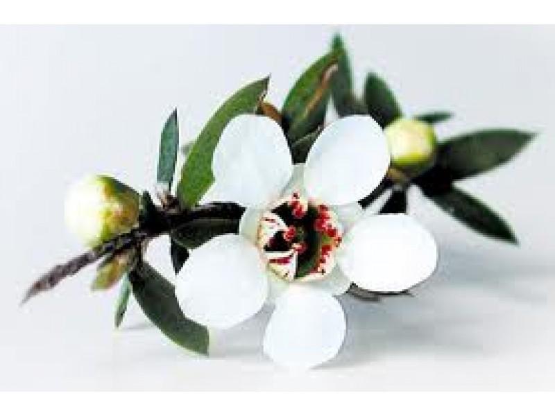 Manuka Essential Oil (Leptospermum scoparium)