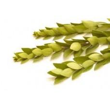 Myrtle Essential Oil (Myrtus communis)