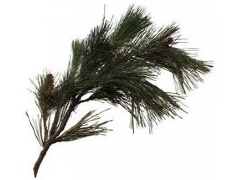 Pine Maritime Essential Oil (Pinus pinaster)