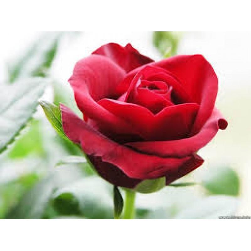 Rose Otto Essential Oil (Rosa x damascena)