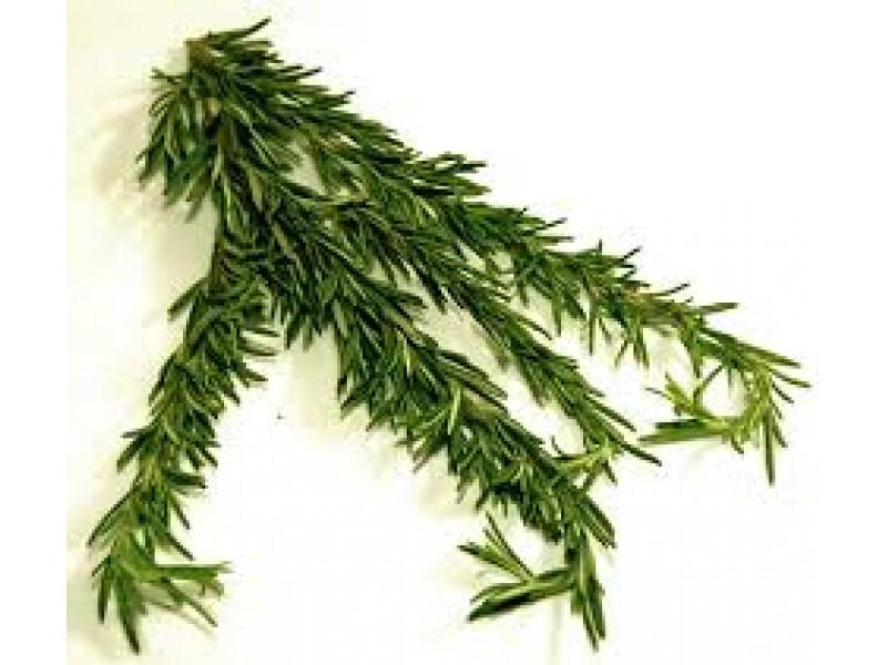 Rosemary Camphor Essential Oil (Rosmarinus officinalis)