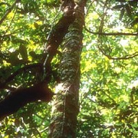 Rosewood Indian Essential Oil (Dalbergia sissoo)