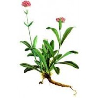 Nard or Spikenard Essential Oil (Nardostachys jatamansi)
