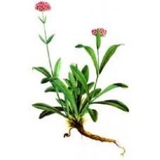 Nard or Spikenard Essential Oil (Nardostachys jatamansi)