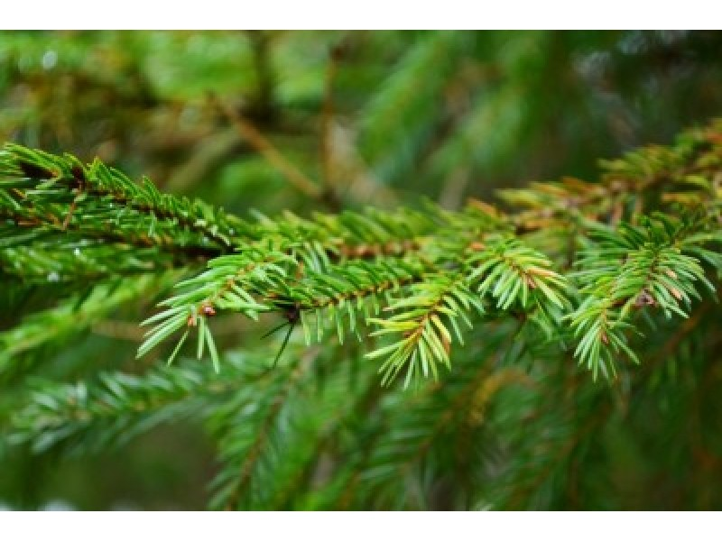 Spruce Black Essential Oil (Picea Mariana)
