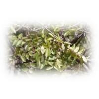 Terebinth Essential Oil (Pinus pinaster)