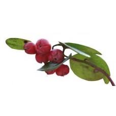 Wintergreen Essential Oil (Gaultheria fragrantissima)