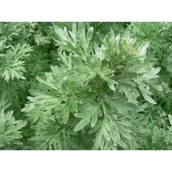 Wormwood White Essential Oil