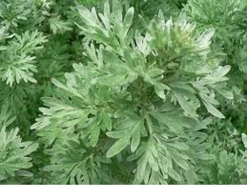 Wormwood White Essential Oil ( Artemisisa absinthium)