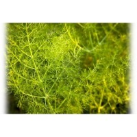 Aniseed, Green Essential Oil (Pimpinella anisum L)
