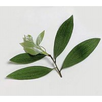Cajeput Essential Oil (Melaleuca leucadendron)
