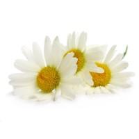 Chamomile Essential Oil,  ( Anthemis nobilis) Organic