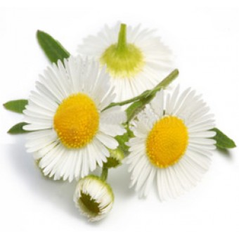 Chamomile, Blue Essential Oil (Matricaria recutita)