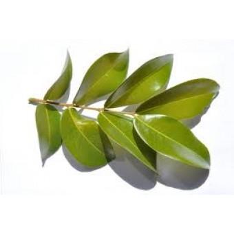 Copaiba (Copahu) Essential Oil (Copaifera martii hayne)