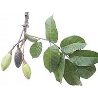 Elemi Essential Oil (Canarium luzonicum)